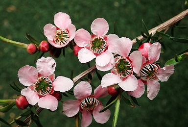 Propiedades ginecológicas del aceite esencial de árbol de té